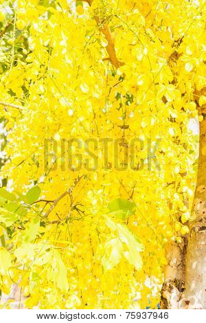 Fully yellow color of Golden flower or Cassia fistula as background