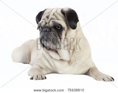 Pug Male Dog Looking To The Side