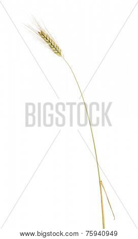 single ear of barley isolated on white background