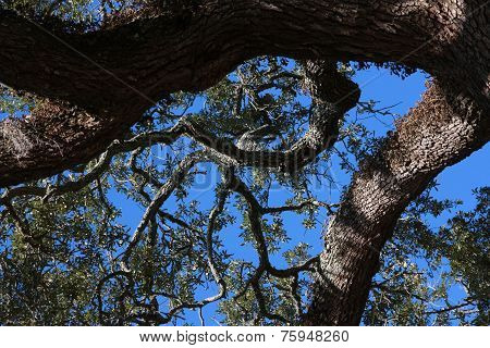 Long Lived Live Oak