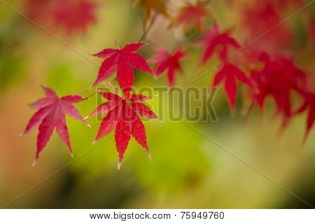 Maple Tree Close Up In Fall