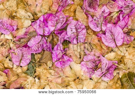 Fallen Leaves And Flowers Of Bouganvillea