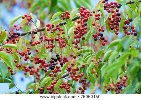 Black Cherry Fruit On The Tree