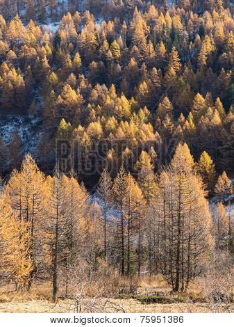 Larch forest in fall - Mont Blanc, Courmayer, Val d'Aosta, Italy, Europe.
