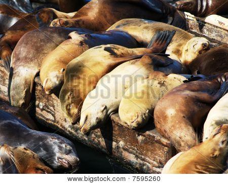 Row of sunbathing sea lions