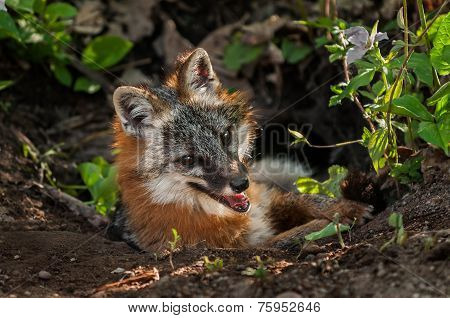 Grey Fox Vixen (urocyon Cinereoargenteus) Hangs Out In Den Entrance