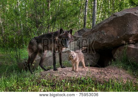Black Wolf (canis Lupus) Watches While Pup Shakes Off
