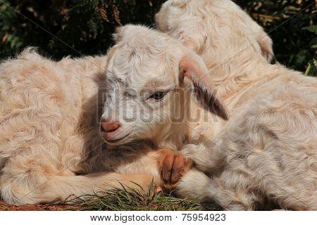 Newborn Twin Goats