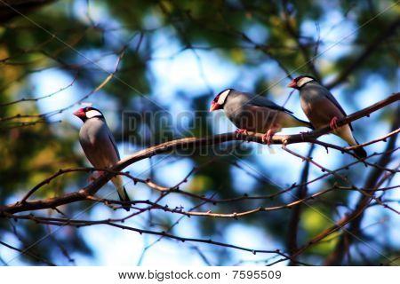 Three Java Sparrows