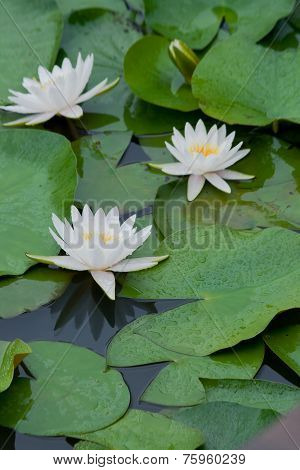 Three white water lily