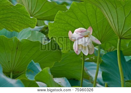 A flower the lotus pond