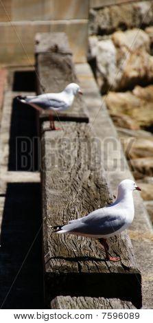 Australian seagulls on a wooden ledge