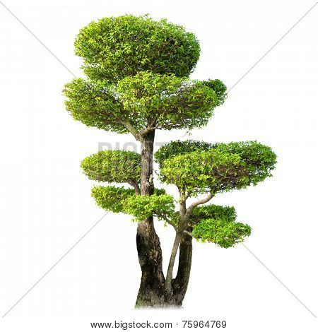 Decorative bonsai tree isolated on white background