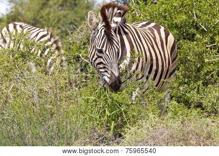 Zebra Eating Leaves