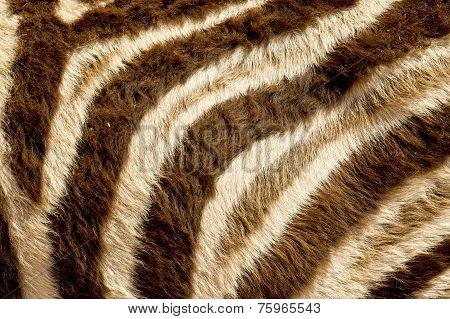 Zebra Fur