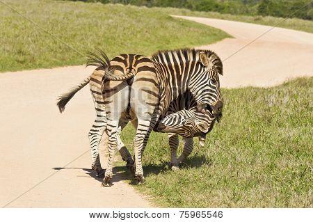 Zebras In The Road