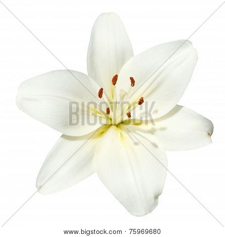 White Flower Lilium Candidum Isolated
