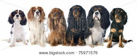 Six Cavalier King Charles