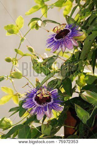 Purple Haze Passifloras