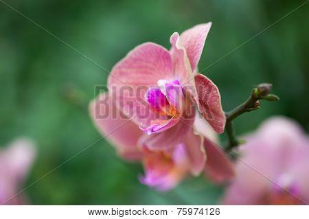 Beautiful Purple Orchid - Phalaenopsis.