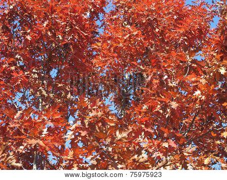 Red Oak Tree In fall with beautiful blue sky