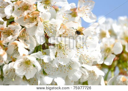 bumblebee among the flowers of a cherry tree