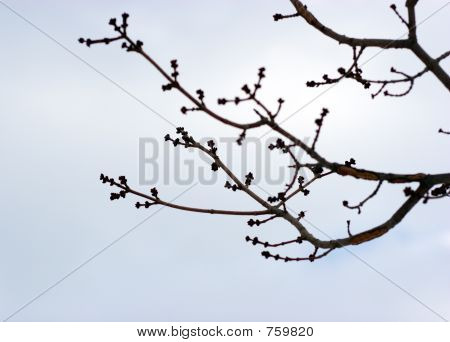 Branch of tree with buds