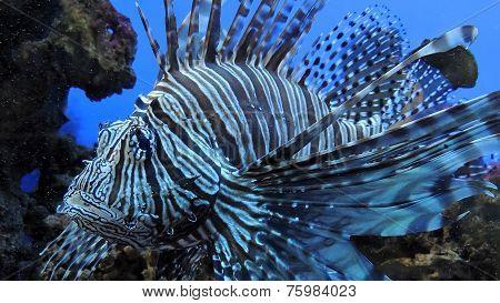Zebra fish.