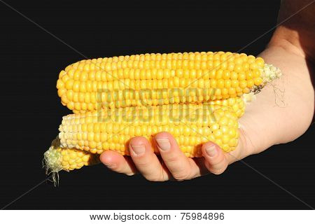 Hand With Golden Maize Cob, Black Background