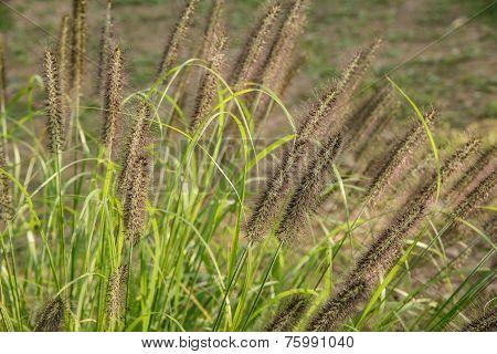 Foxtails In A Field