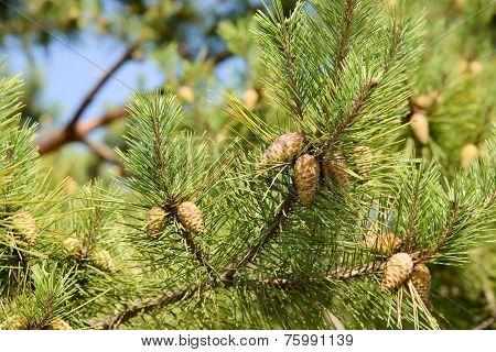 Unripe Pine Cone On A Brach