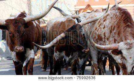 Texas Longhorns Steers Cows Bulls with horns