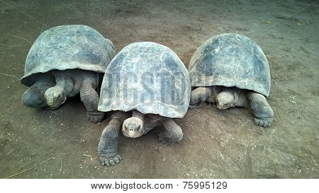 Three Giant Turtles