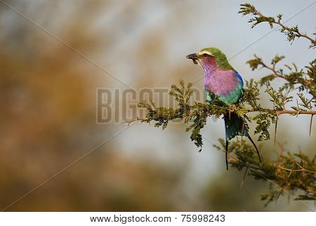 Lilac-breasted Roller Perched On A Branch