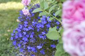stock photo of lobelia  - Blue lobelia flowers and blurred pink rose in the foreground growing outdoors in the garden - JPG