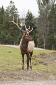 picture of bambi  - A large elk in the woods during fall.