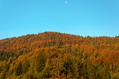 stock photo of wane  - Autumn forest with a setting waning gibbous moon and a clear blue sky - JPG