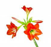 foto of belladonna  - Isolated of Beautiful Amaryllis on white background - JPG