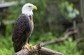 stock photo of bald head  - Bald headed eagle sat on a perch - JPG