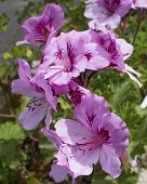 Violet colored geraniums