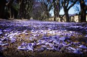 foto of tree lined street  - Suburban road with line of jacaranda trees and small flowers making a carpet - JPG