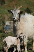 foto of baby goat  - Mother and Baby Goat on the farm - JPG