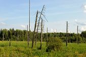 stock photo of boggy  - Withered tree trunks in the swamp at the forest edge in summer - JPG