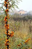stock photo of sea-buckthorn  - Ripe sea buckthorn on the meadow in the countryside on the background of the rural house - JPG