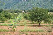 foto of tamarind  - tamarind plantation and banana plantation mix together  - JPG