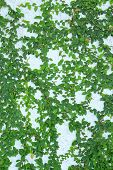 image of creeper  - Image of green creeper plant on wall - JPG