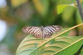 picture of butterfly  - Large Tree Nymphs butterfly and green leaf - JPG