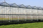 picture of beside  - Greenhouse in Zuid-Holland of the Netherlands. This greenhouse produces flowers. The goats are grazing the grass beside the greenhouse.