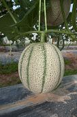 pic of corps  - Japanese melon corp about to be harvested - JPG