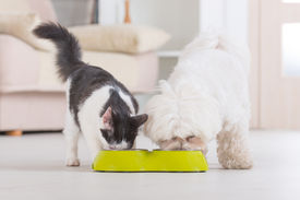 picture of maltese  - Little dog maltese and black and white cat eating food from a bowl in home - JPG